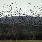 bird-hunting-argentina-006
