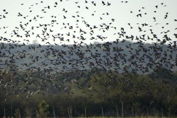 Hunting Dove in Argentina