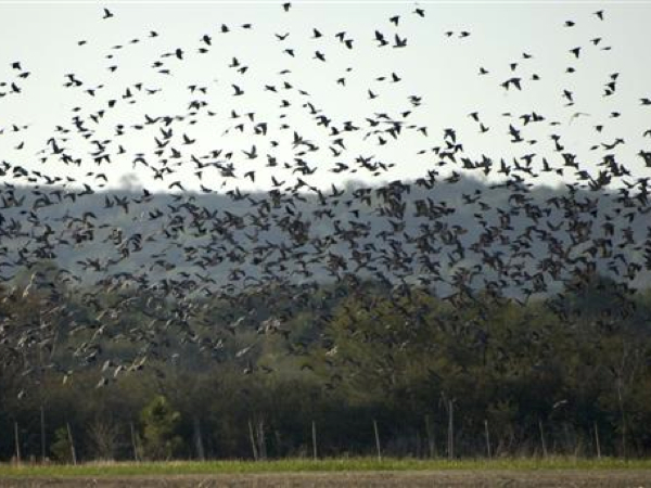 bird-hunting-argentina