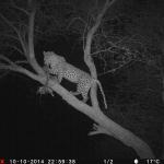 hunt-leopard