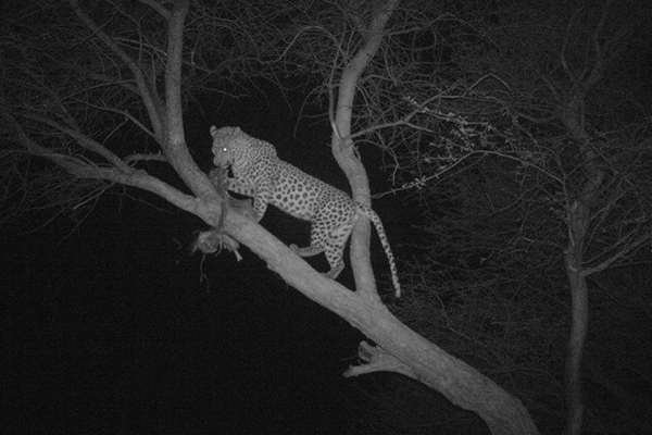 Last Minute Leopard Hunting Deal in Namibia