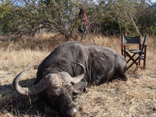 hunting-buffalo