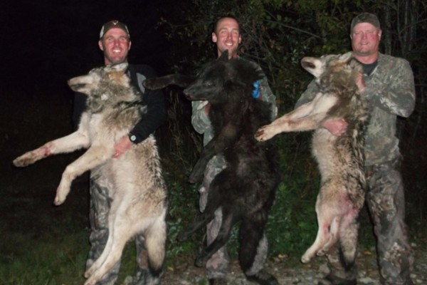 Wolf Hunt in Canada