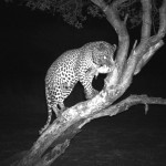 Discounted Leopard Hunt Namibia