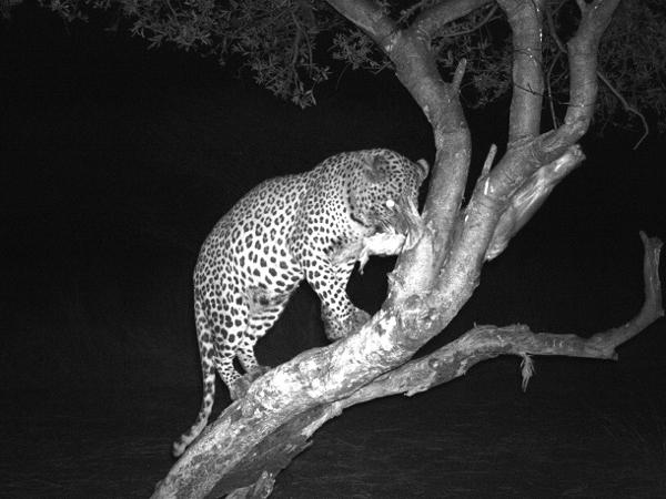 leopard-hunt-1