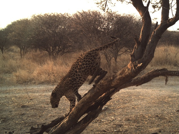 leopard-hunt-2