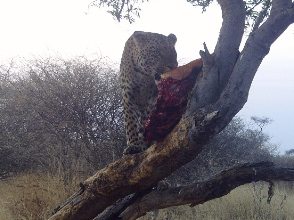 leopard-hunt-3